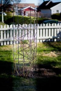Rak växtställning gjord av armeringsjärn bestående av 3 moduler monterade runt en rosenbuske